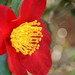 Red Camellia Flowers - 7