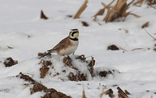 Horned lark by ricmcarthur