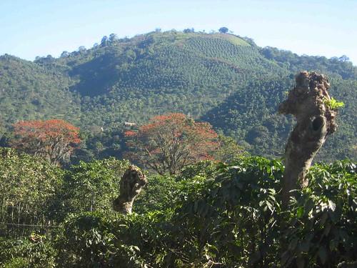 Coffee_shadow_trees_costa_rica