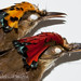 Royal flycacther, Onychorhynchus (coronatus) mexicanus head details of male and female