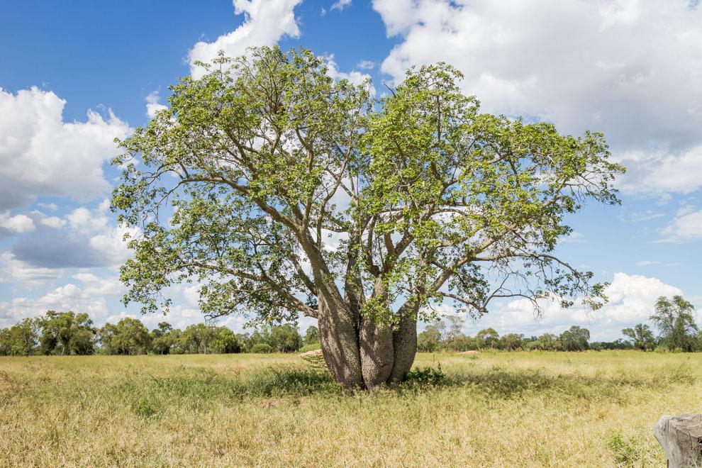 El Palo Borracho, o Samu'u, es el árbol que identifica al Chaco Paraguayo, en esta fotografía se puede ver 4 árboles compartiendo las mismas raíces. (Tetsu Espósito)