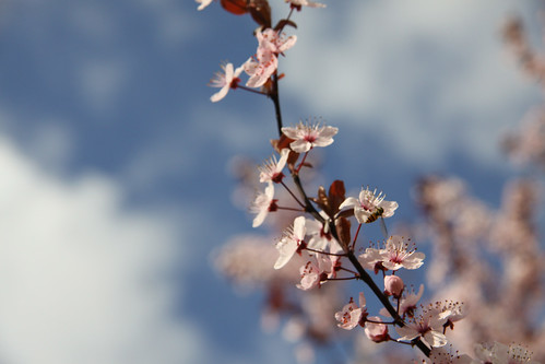Flores de Pruno