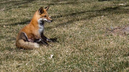 Campus Fox