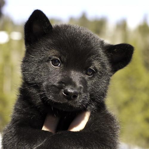 Kumi-Litter4-Day46-Puppy3-Male(Akuma)-1