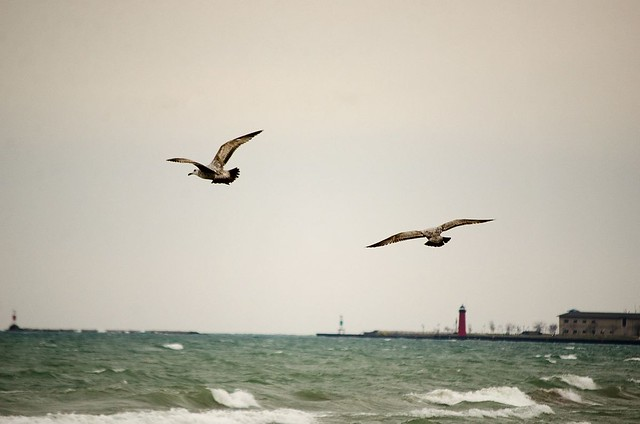 Seagulls on the lake in Kenosha