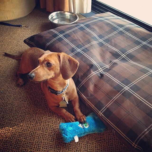 Mr. Big likes his accommodations at the Tenaya Lodge. #weeniewithaweenie #doxie #dachshund