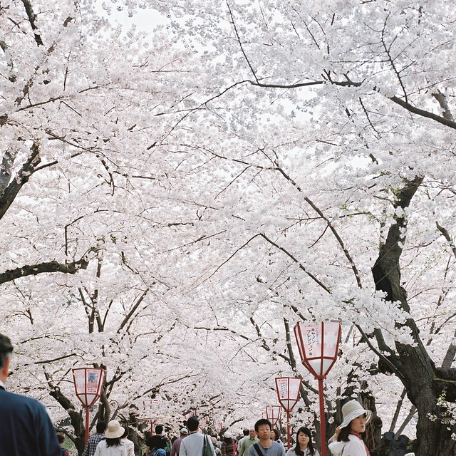 6x6の桜風景【9】 - HASSELBLAD 500C/M -