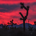 Joshua Trees by bryanscott