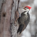 Small photo of Grand pic - Pileated Woodpecker