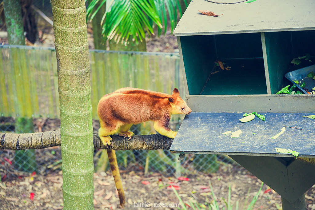 Tree kangaroo going out for lunch