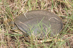 Spiny Soft-shell Turtle