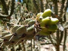 Cylindropuntia (Opuntia) imbricata