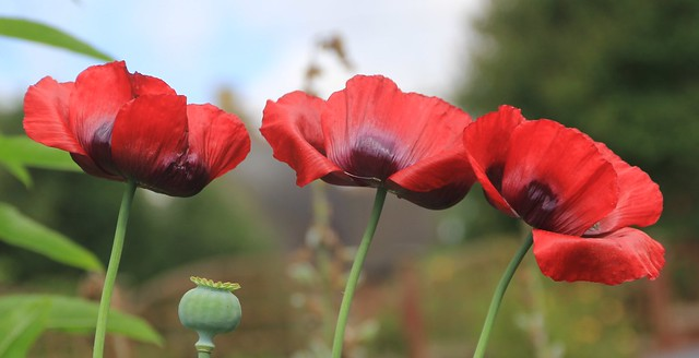 Poppies, Looking Back 100 Years.