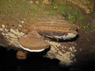 fungi on a log. Ganoderma applanatum