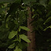 Small photo of Carpinus caroliniana - American Hornbeam (in fruit)