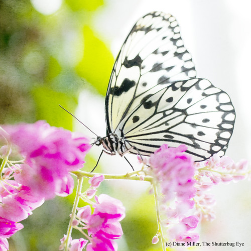 White Butterfly by The Shutterbug Eye™
