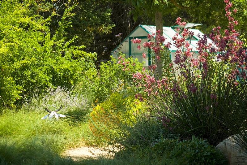 Dudan Garden Kangaroo paw