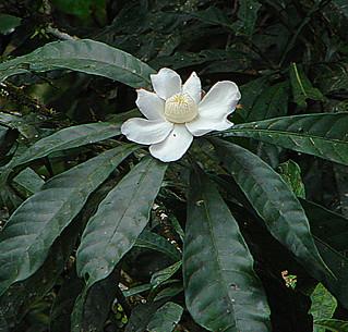 Gustavia hexapetala, the Cenicero Blanco.