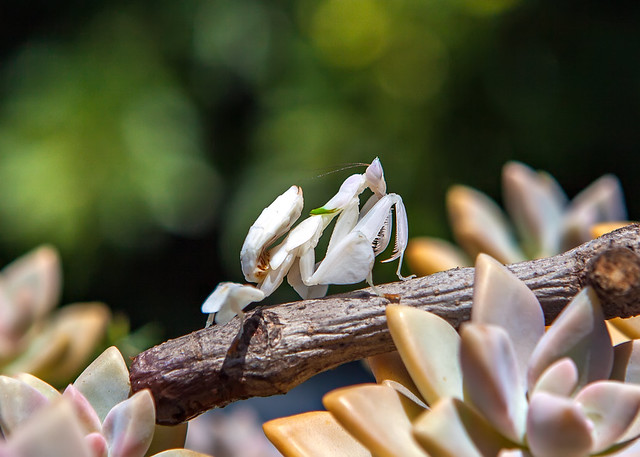 Lady Rainicorn, Orchid Mantis