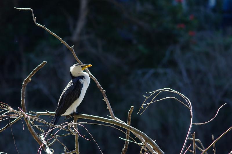 Little Pied Cormorant (Microcarbo melanoleucos)