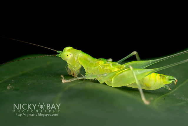 Katydid (Asiophlugis temasek?) - DSC_3620