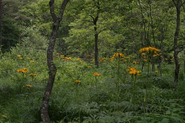 林内にはハンカイソウが花盛り.緑に映える黄色の花がとてもきれいだった.