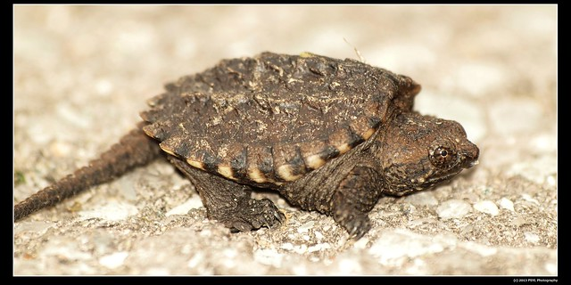 Baby Common snapping turtle (Chelydra serpentina)