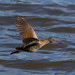 water rail over open water by fat n hairy