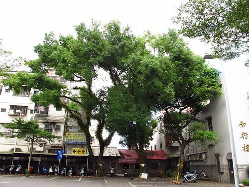 宜蘭醫院老樹。(圖片來源:搶救宜蘭陽明附醫老樹行動聯盟)