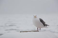 bloody sea gull