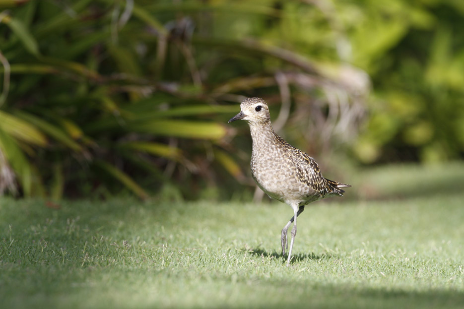 100513_06_list_pacificGoldenPlover01