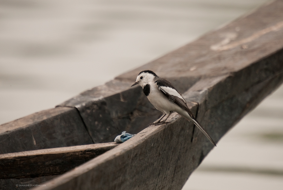 White-Wagtail-Dipol-Beer