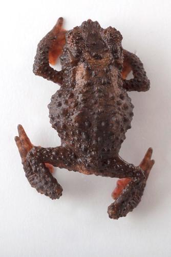 <i>Osornophryne simpsoni</i> Osornosapo de Simpson ♂
