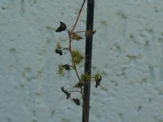 Minha pequena Drosera tuberosa 11873608863_9f83e5ee5c_n