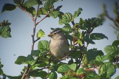 White-crowned Sparrow, 6/21/2013 Dalton Hwy., AK