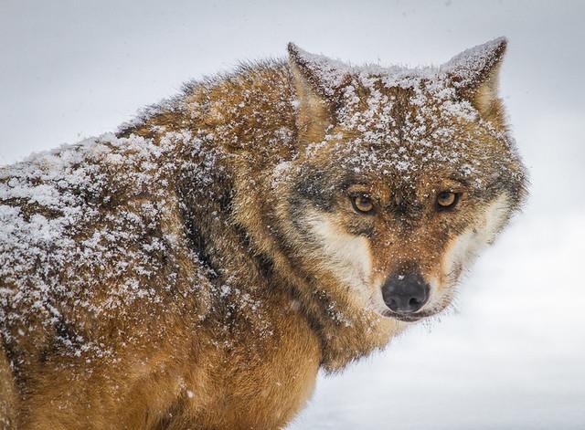 Wolf / Loup