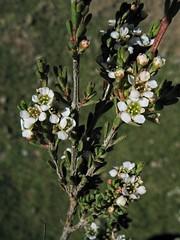 Baeckea gunniana  -  Alpine heathmyrtle
