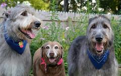 animal sports(0.0), hound(0.0), sighthound(0.0), sports(0.0), street dog(0.0), glen of imaal terrier(0.0), spinone italiano(0.0), catalan sheepdog(0.0), dog sports(1.0), dog breed(1.0), animal(1.0), dog(1.0), scottish deerhound(1.0), pet(1.0), lurcher(1.0), irish wolfhound(1.0), carnivoran(1.0),