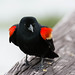 Red-winged Blackbird [Agelaius phoeniceus]