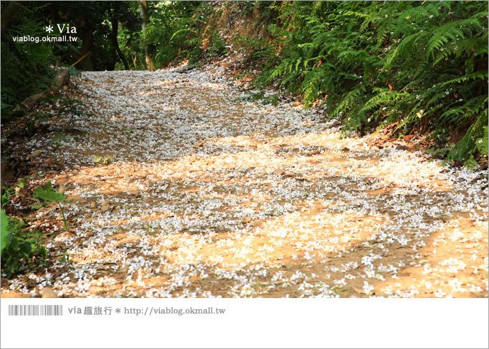【彰化油桐花】福田桐花生態園區~雪白花毯!每年都會想再回訪的賞桐景點8