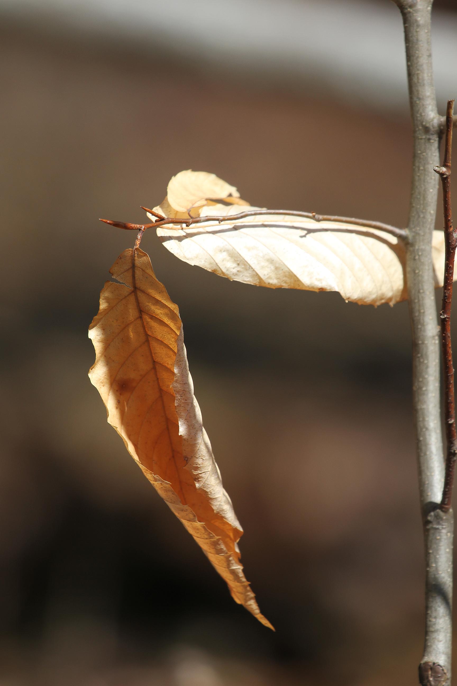 leafy survivor
