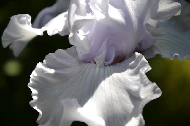 Iris 'Silverado' - Schreiner 1986 13961909737_da51f80858_z
