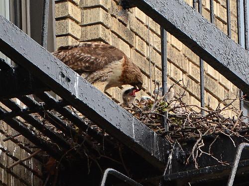 JHW Hawk Nest (9001)