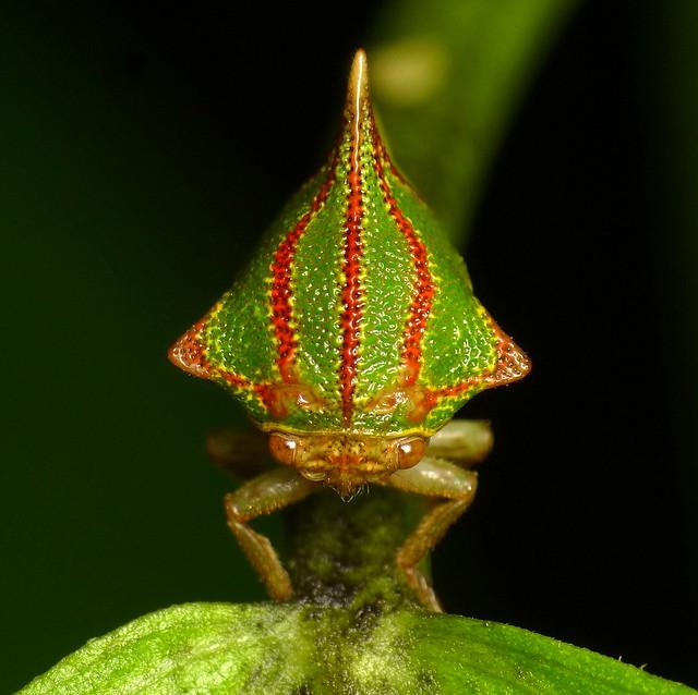 Treehopper, Umbonia spinosa, Membracidae   Flickr - Photo ...