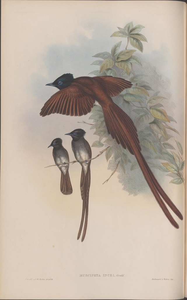 litho of 3 brown, long-tailed birds: 2 on a branch, one flying : 1800s science book colour sketch