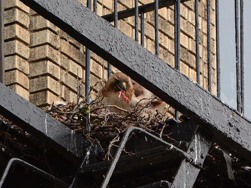 JHW Hawk Nest (9146)