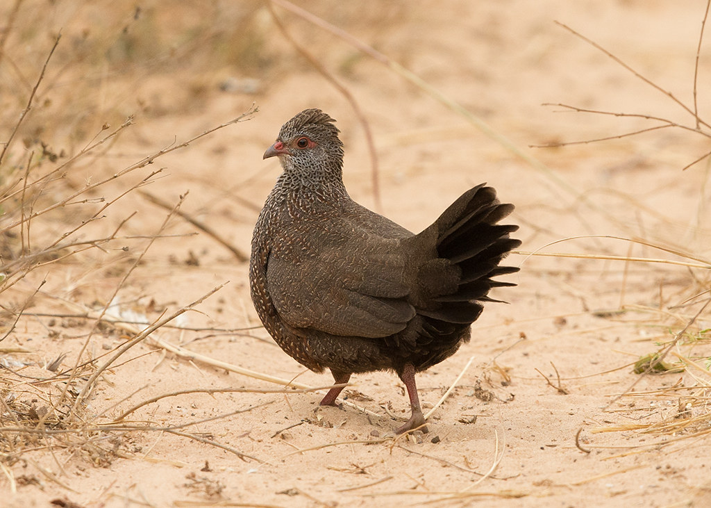 Stone Partridge  Gambia
