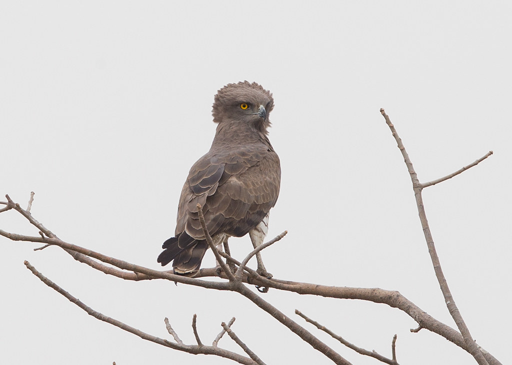 Beaudouin's Snake-Eagle   Gambia