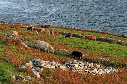The Wild Atlantic Cows