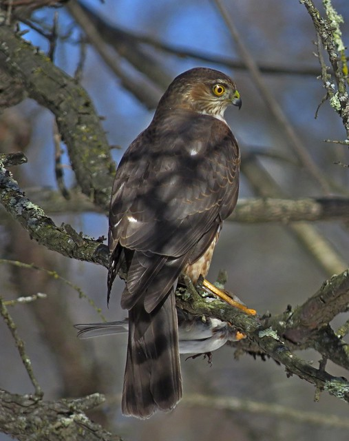 Sharp Shinned Hawk with Tufted titmouse